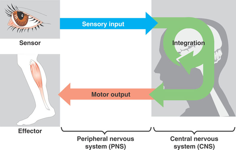 sensorimotor integration